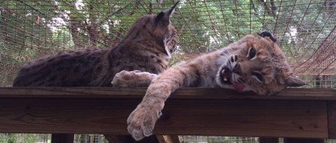 Lovey-bobcat