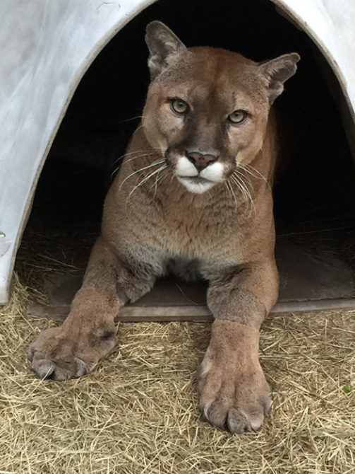 Mickey-Cougar