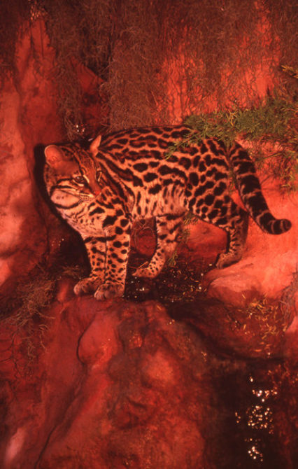 PurrFection-Ocelot-Will-Rhoades-1996-562
