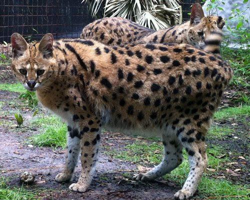 Zouletta Serval