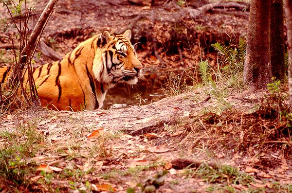Shere-Khan-Tiger-Will-Rhoades