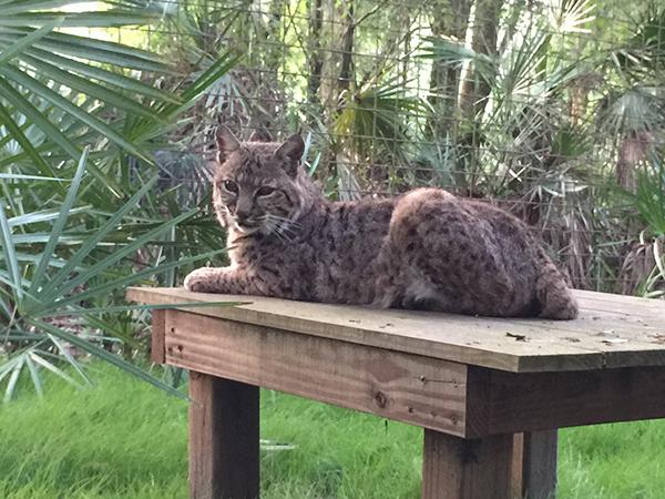 Siera-Bobcat