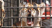 Tiger-Cubs-US-Tabby-Tigers