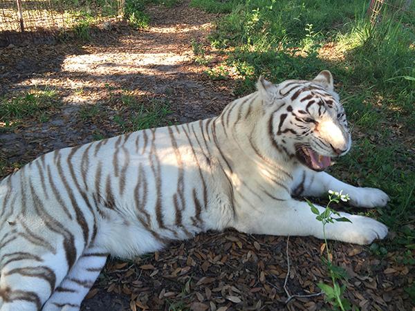 Zabu-White-Tiger-