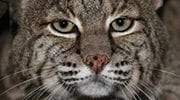 bobcats Cherokee