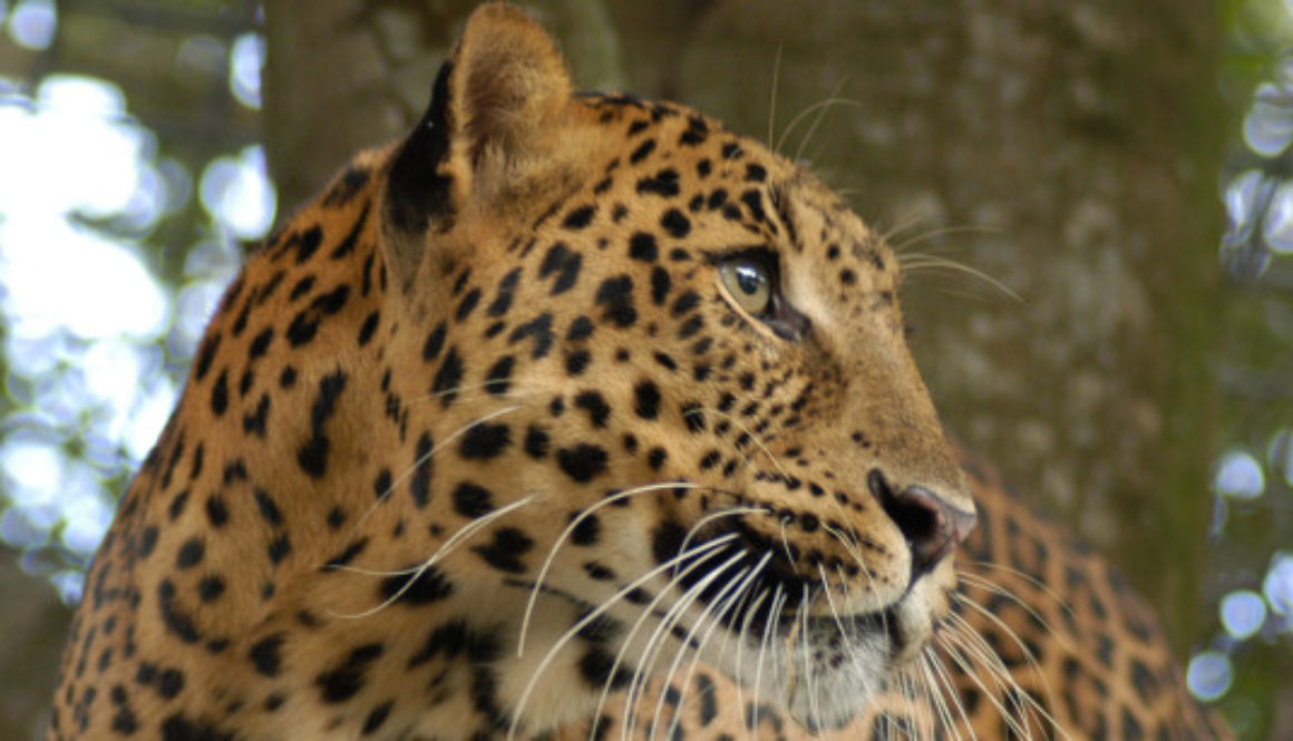Cheetaro The Leopard At Big Cat Rescue