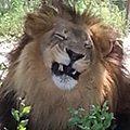 Joseph Lion Joker