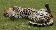 Simba-Leopard_7487Goodbye