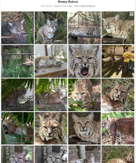 Breezy Bobcat Photo Album