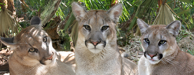 Why is the FWC Giving up on the Florida Panther?