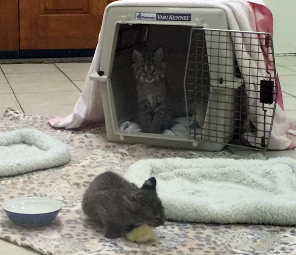 Rehab-Bobcat-Kitten