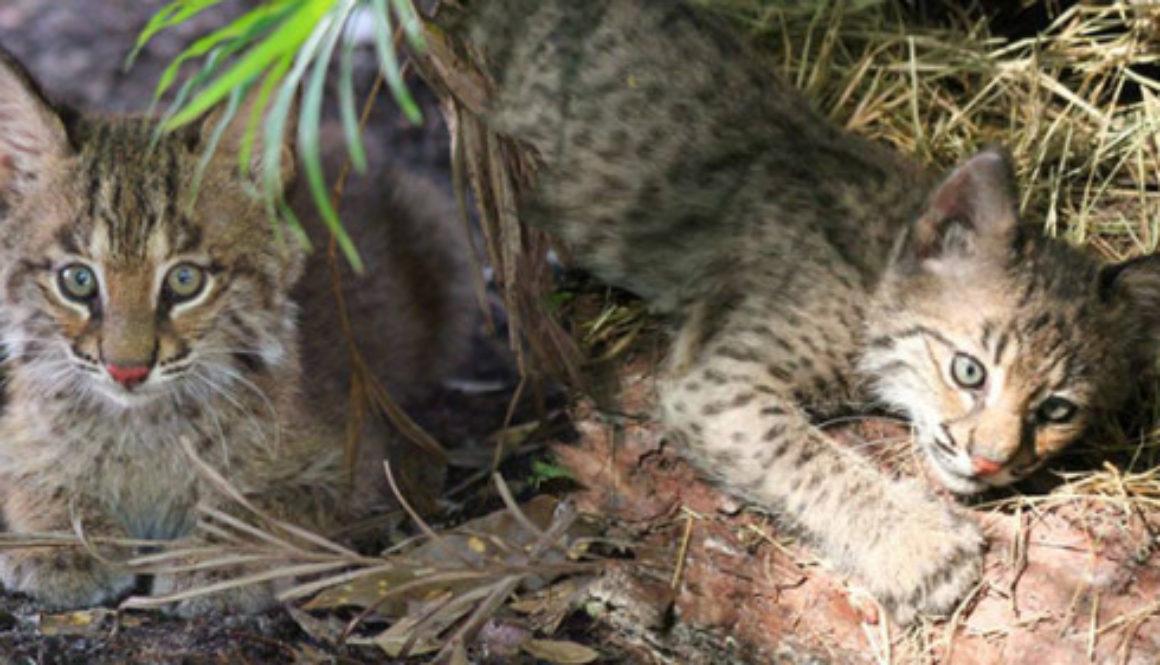 Rehab Bobcat Kittens 2015