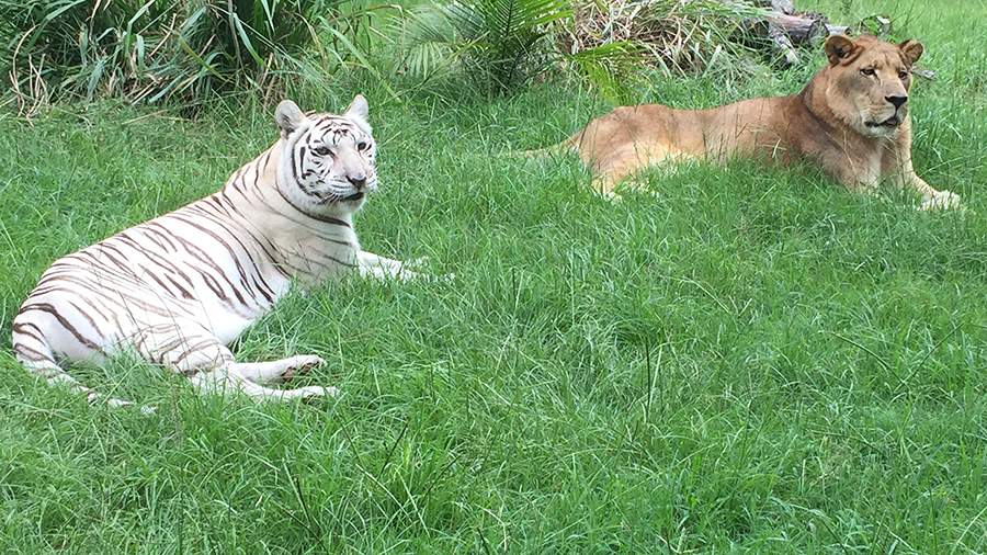 Now at Big Cat Rescue Aug 08 2015