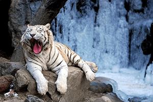 white tiger abuse