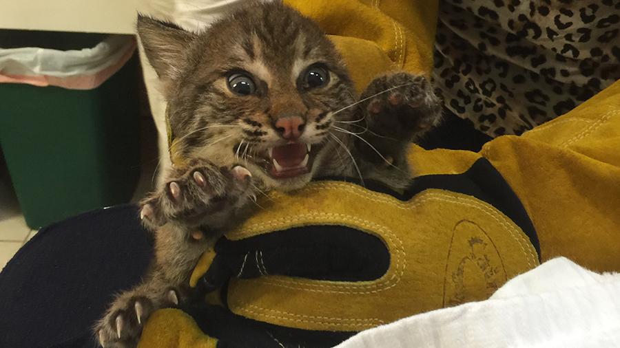4 Bobcat Kittens