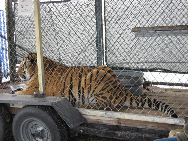 Samson Tiger