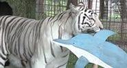 Video Zabu White Tiger Dolphin