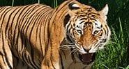 Bengali Tiger Snarl