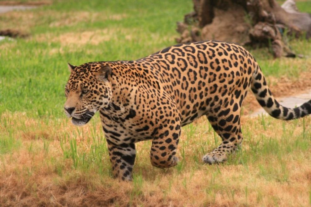 Jaguar Facts – Interesting Information About Jaguars