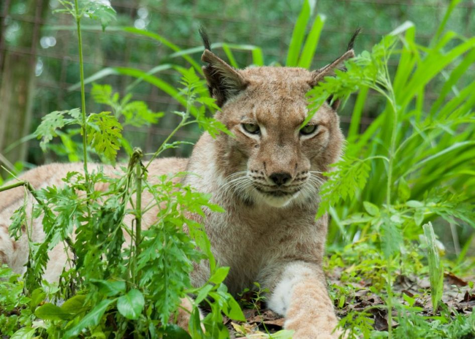 Happy Tuesday - Siberian Lynx, Apollo
