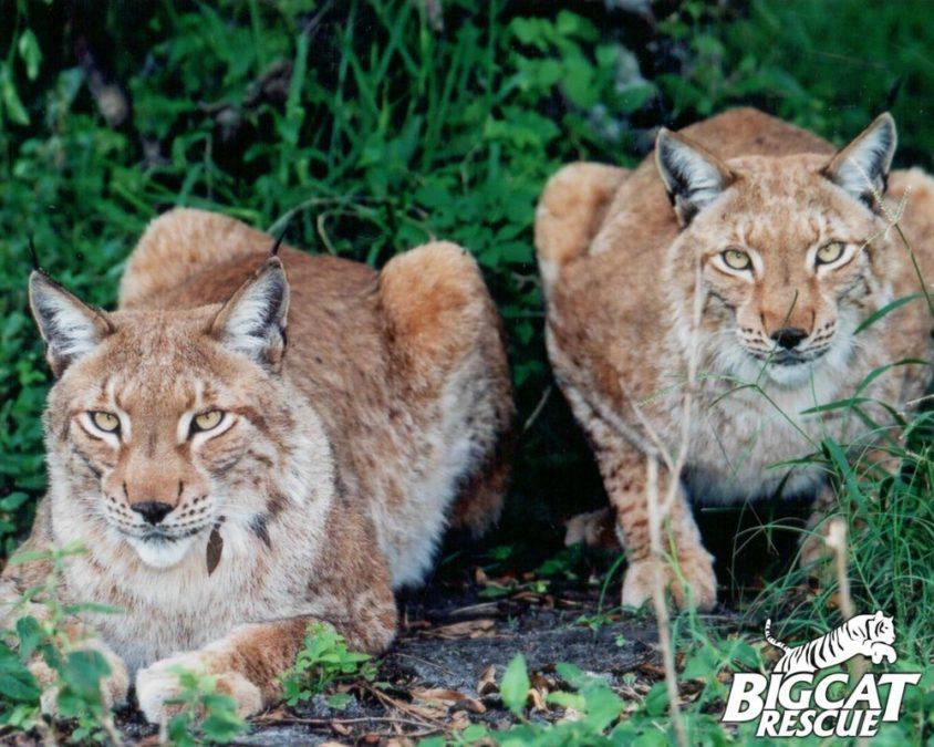 APOLLO & ZEUS siberian lynx brothers and fur farm survivors!