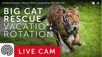 Watch big cats on explore.org