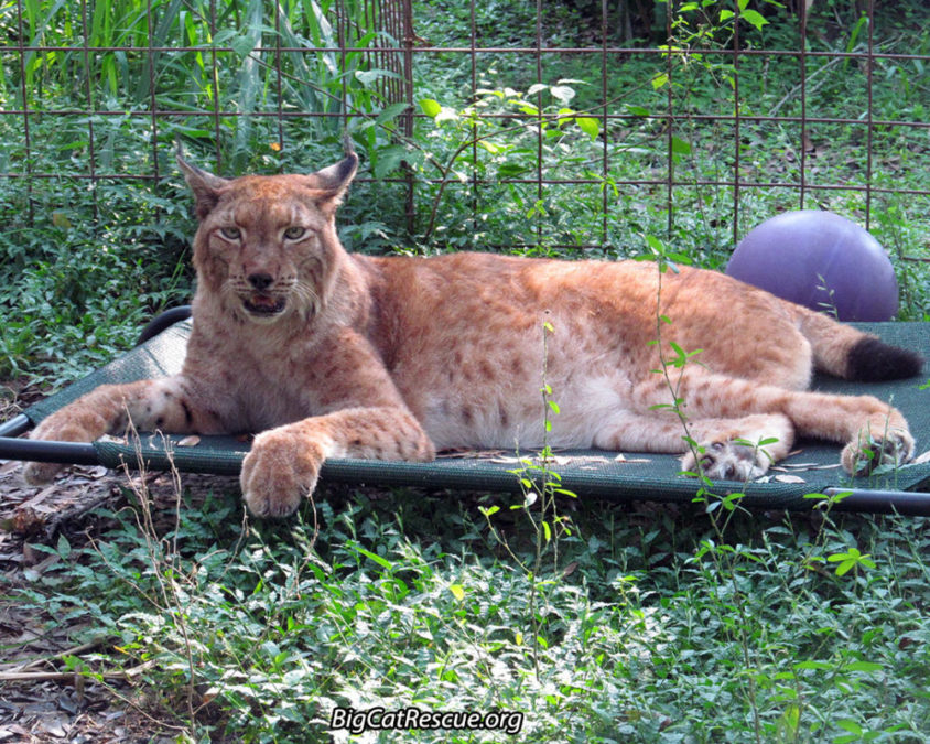 Apollo Siberian Lynx LOVES his Coolaroo which was a gift from online viewers. Photo by Mary Lou Geis
