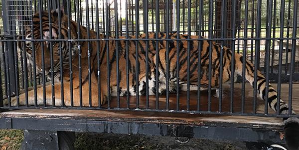 Alex Tiger Wakes Up_0255