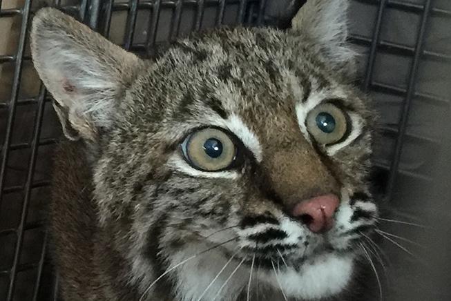 BobcatRehabMrClaws_0020