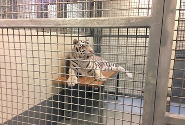 Houston Downtown Aquarium White Tiger Abuse