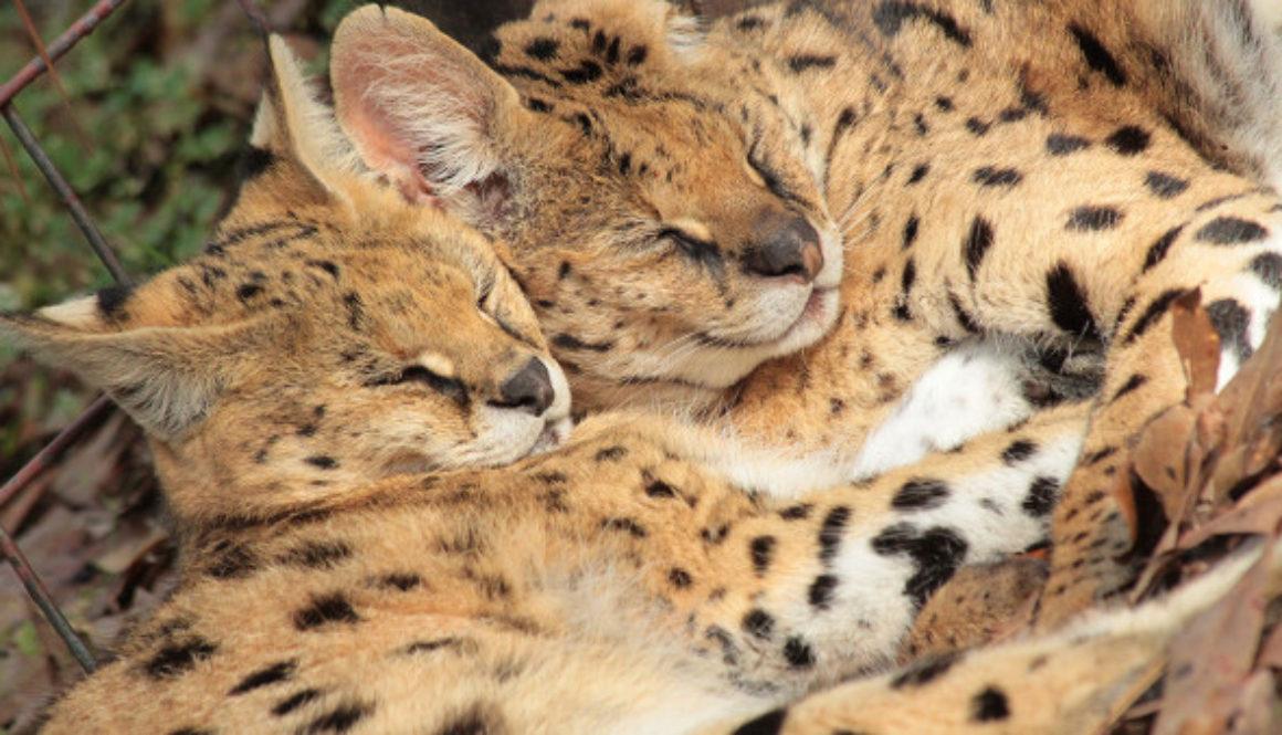 Santino & Zouletta Servals