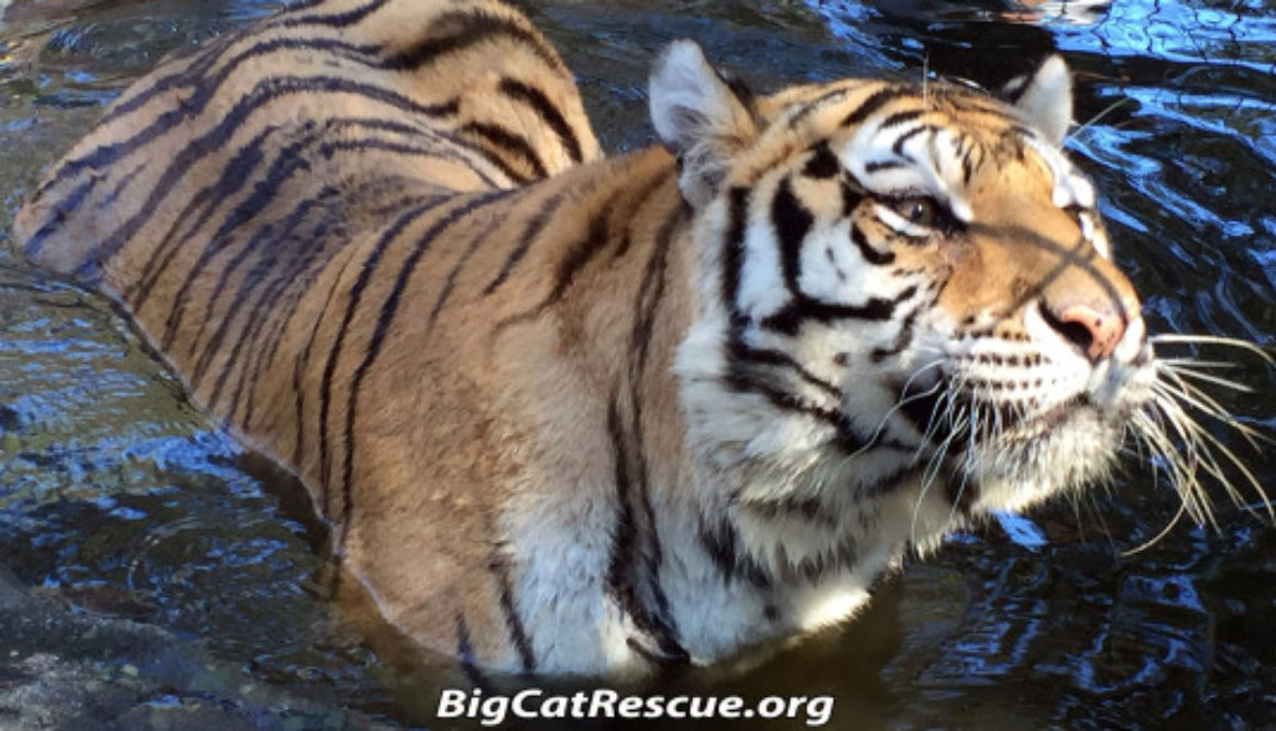 Teisha Tiger in Pool