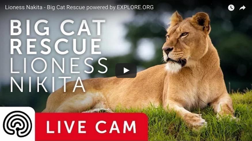 LIVE lion web cam