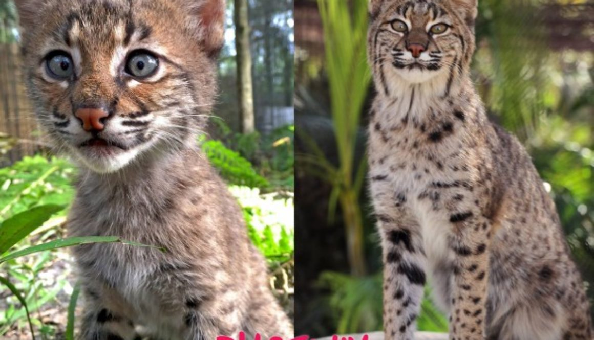 Rehab Bobcat Kitten Adult Phoenix