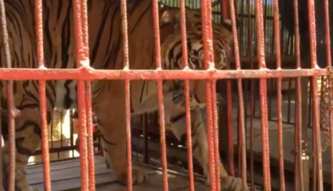 lions and tigers are the animals least suited to life in a circus