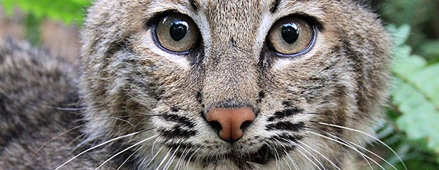 IL Ban Bobcat Pelt Sales