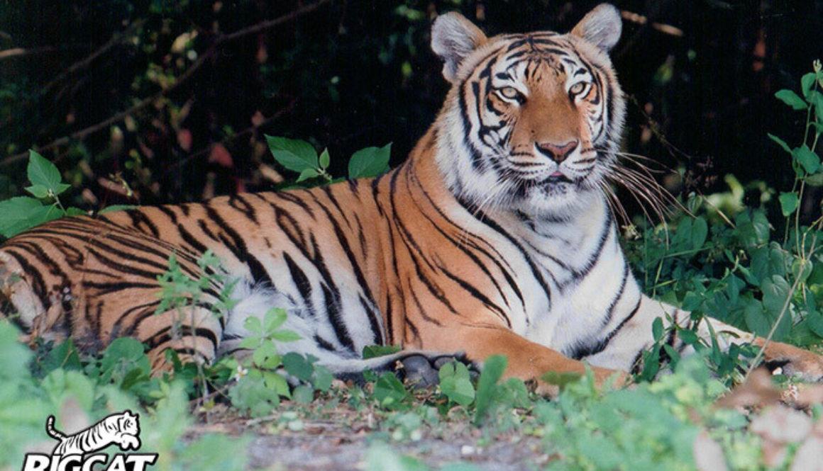 animal poaching tigers - photo #29