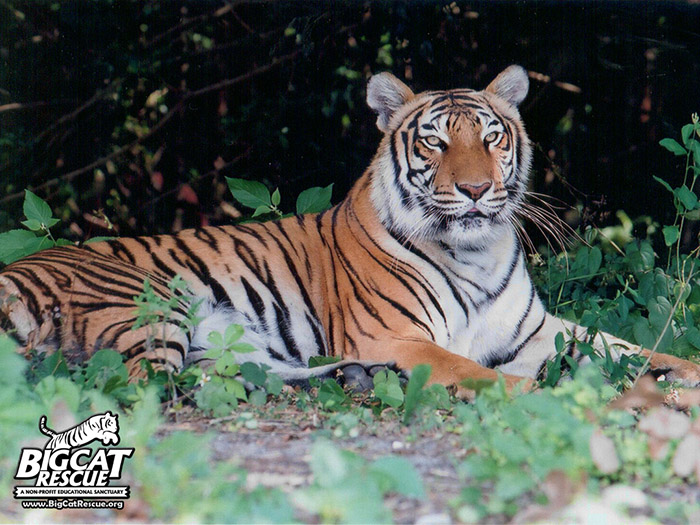 BCR and 23 NGOs ask for zero demand for tiger parts