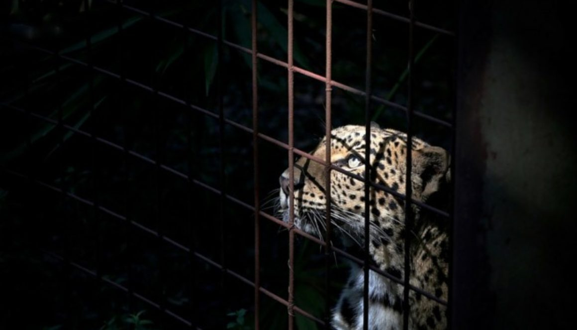 Cat Laws No Cages Sundari Leopard
