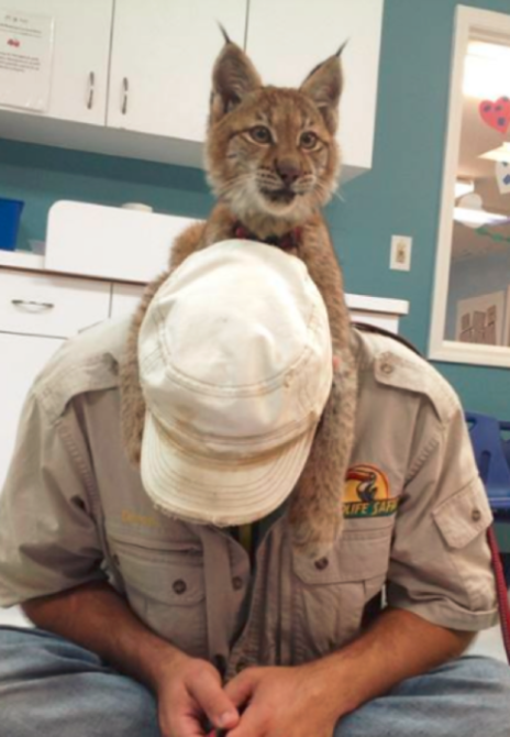 Nelsons Wildlife Safari Lynx Kitten
