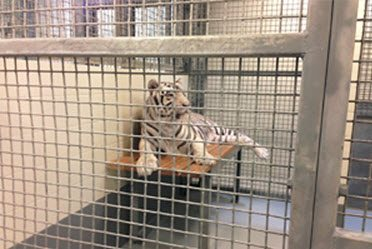 Tiger on platform in cage