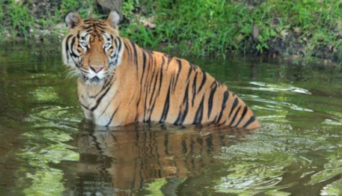 Hoover Tiger at Big Cat Rescue
