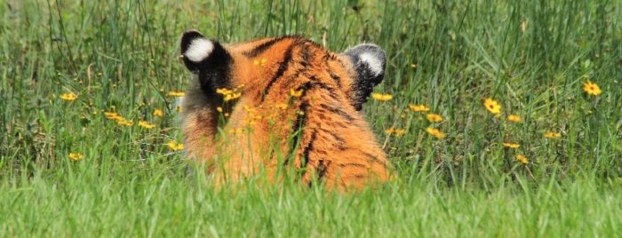 TJ Tiger Vacation at Big Cat Rescue
