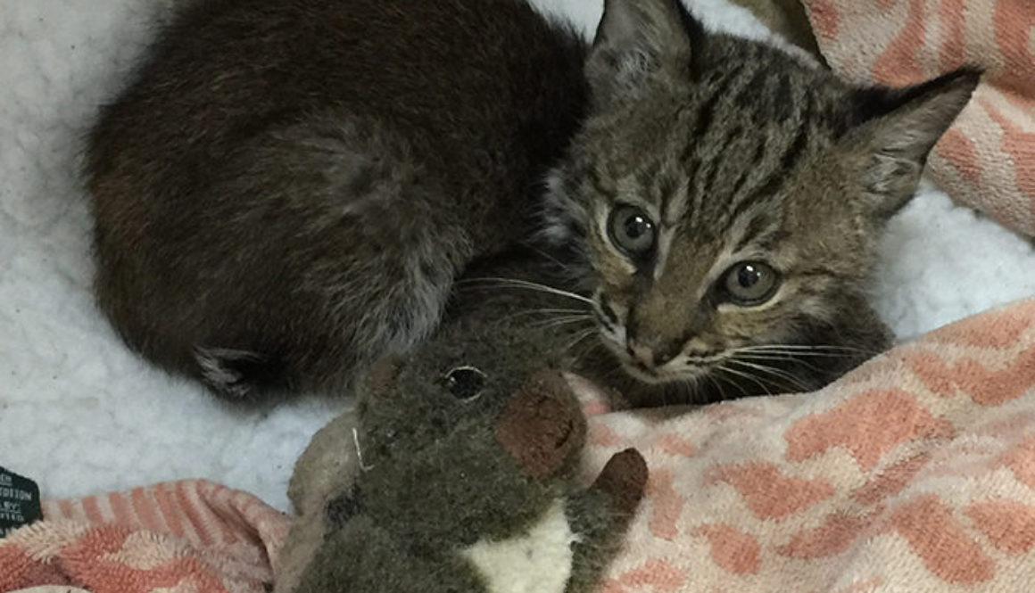 Spirit-Feather-Rehab-Bobcat