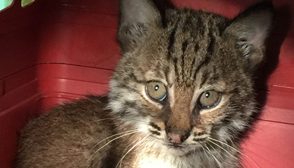 Spirit-Feather-Rehab-Bobcat