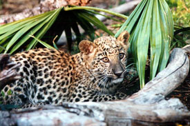 Sundari Leopard as a cub