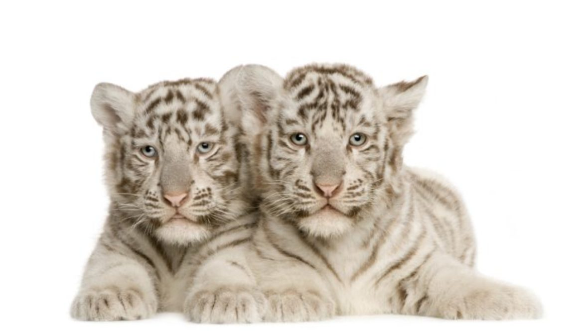 Sad white tiger cubs taken from their mom