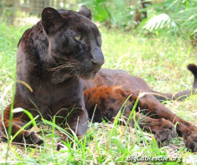 Jumanji Black Leopard