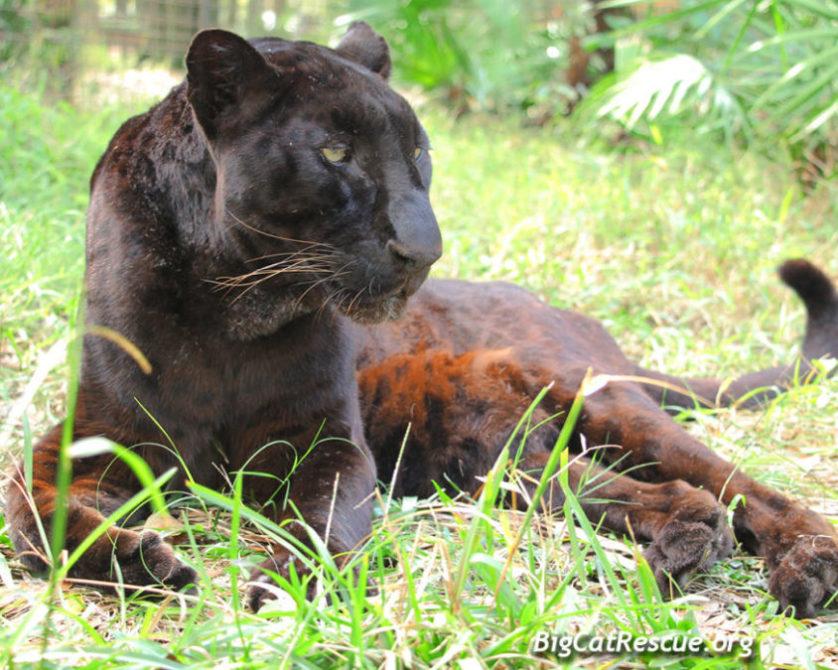 51213ec0d307ec Summary -  Buy A Big Cat What Is The Real Cost Big Cat Rescue