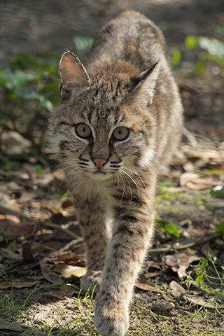 Ms Claws Bobcat 2016